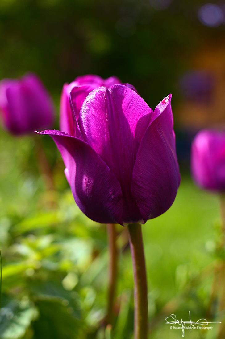 Tulip from my garden