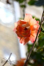 Christiania rose